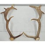 Pair of Multi Point Deer Antlers