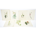 Antiquarian Hand Coloured Engraving Including, Polygala Teretifolia