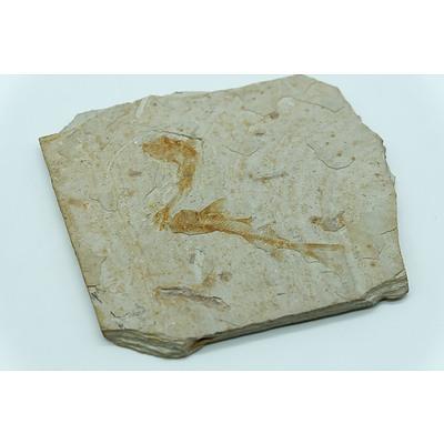 Fossilised Fish on Stone