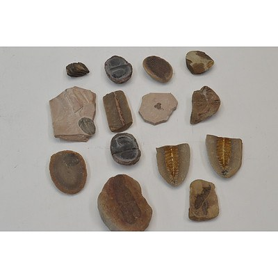 Collection of 12 Fossilized Plants & Sea Creatures