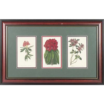 Six Framed Antiquarium Botanical Hand Coloured Engravings