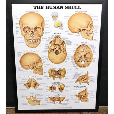 The Human Skull Anatomy Chart