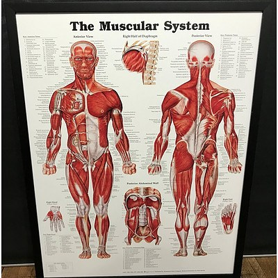 The Muscular System Anatomy Chart