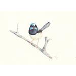 "Painting: ""Superb Fairy Wren"" watercolour by Vivien Pinder"