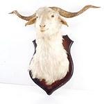 Mounted Taxidermy Goat Head