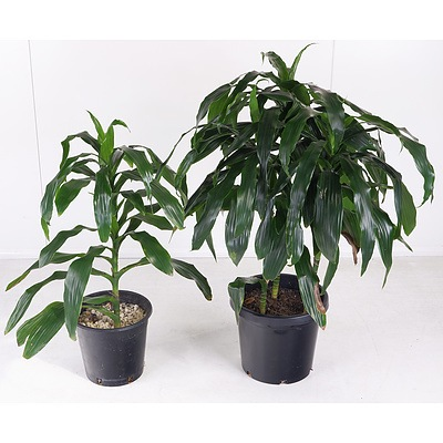 Two 'Massangeana' Happy Plant Indoor Pot Plants