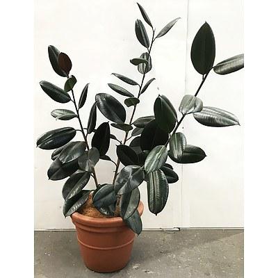 Ficus Elastica - Rubber Plant in Pot