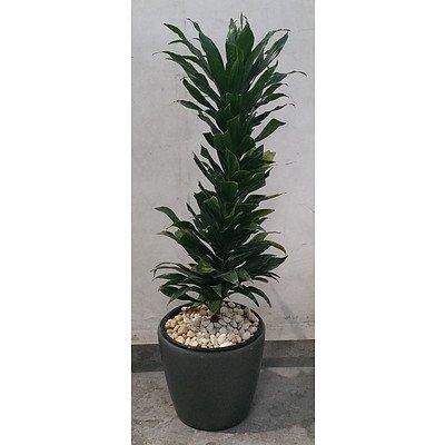 dracaena deremensis (Compacta) In Silver Plastic Pot.