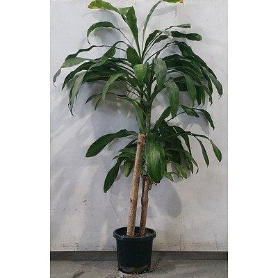 dracaena massangeana (Happy Plant) In Black Plastic Pot