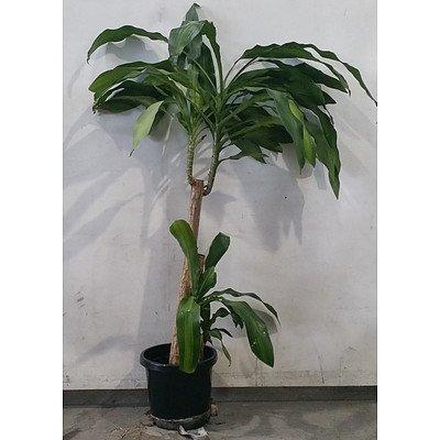 dracaena massangeana (Happy Plant) In Black Plastic Pot.
