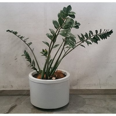 zamioculcas (zanzibar gem) In Large White Pot