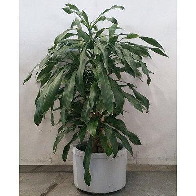 dracaena massangeana (Happy Plant) In White Plastic Pot.
