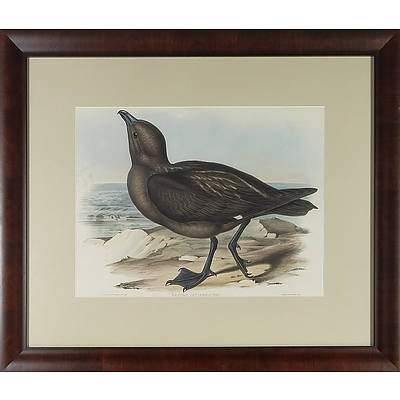Original John Gould (British 1804-1881) Australian Skua Gull, Lestris Catarrhactes Hand-coloured Lithograph