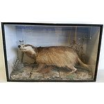 Vintage Taxidermied Badger in Glass Fronted Case