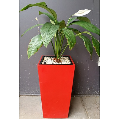 Indoor Planter Box With Spathiphyllum Sensation(Peace Lily)