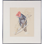 Ken McCarthy (Working 1950s-)Gang Gang Cockatoo, Watrercolour and Pencil