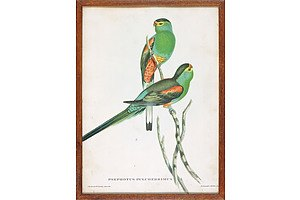 John Gould (British 1804-1881) and HC Richter, Psephotus Pulcherrimns, Hand Coloured Lithograph