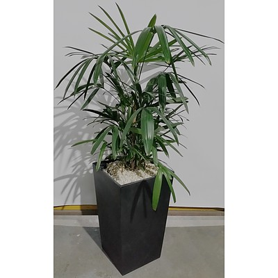 Rhapis Palm(Rhapis Excelsa) Indoor Plant With Fiberglass Planter Box