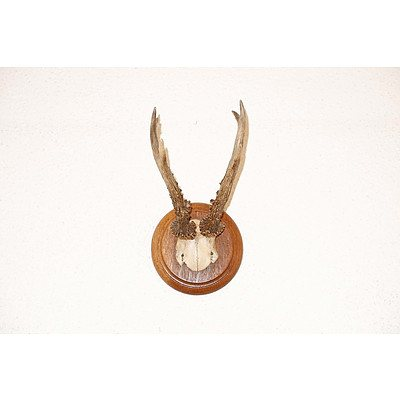 Small Antlers From Austria