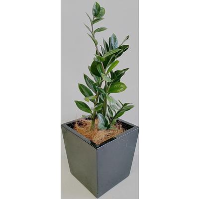 Zanzibar Gem(Zamioculus Zalmiofolia) Desk/Bench Top Indoor Plant With Fiberglass Planter Box