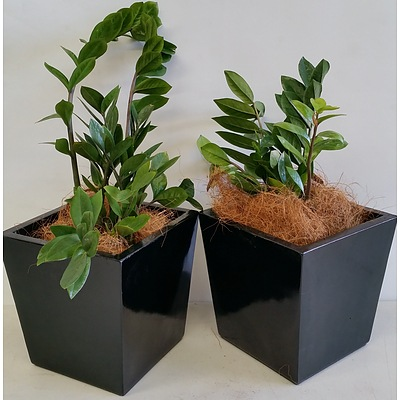 Two Zanzibar Gem(Zamioculus Zalmiofolia) Desk/Bench Top Indoor Plants With Fiberglass Planter Boxes