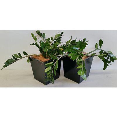 Two Zanzibar Gem(Zamioculus Zalmiofolia) Desk/Bench Top Indoor Plants With Fiberglass Planter Boxes