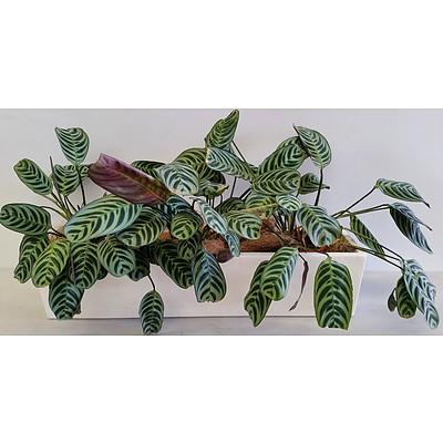 Three Zebra Plants(Calathea Zebrina) Desk/Benchtop Indoor Plants With Fiberglass Planter Trough