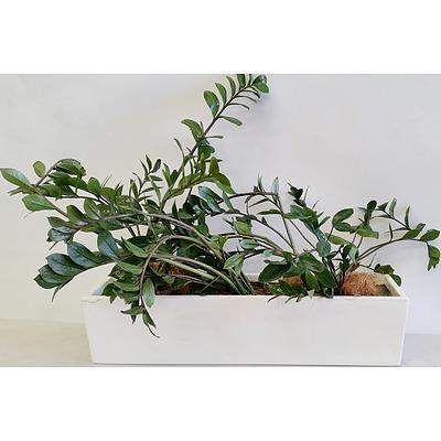 Three Zanzibar Gem(Zamioculus Zalmiofolia) Desk/Benchtop Indoor Plants With Fiberglass Planter Trough