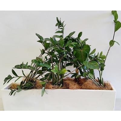 Four Zanzibar Gem(Zamioculus Zalmiofolia) Desk/Benchtop Indoor Plants With Fiberglass Planter Trough