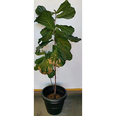 Advanced 180cm Fiddle Leaf Fig(Ficus Lyrata) in 45cm Plastic Cotta Pot