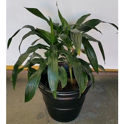 Janet Craig(Dracaena Deremensis) Indoor Plant in 45cm Plastic Cotta Pot
