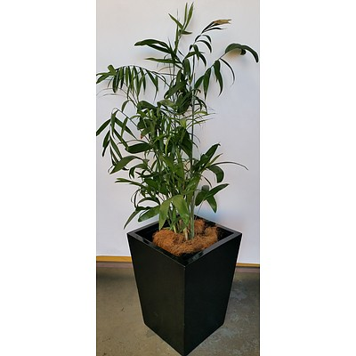 Bamboo Palm(Chamaedorea Seifrizii) Indoor Plant With Fiberglass Planter Box