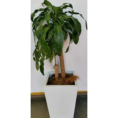 Striped Happy Plant(Dracenea Fragrants Massangeana) Indoor Plant With Fiberglass Planter Box