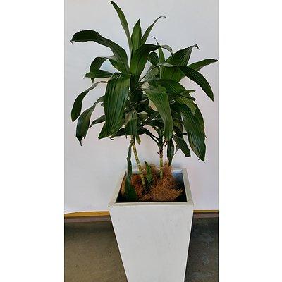 Janet Craig(Dracaena Deremensis) Indoor Plant With Fibreglass Planter Box