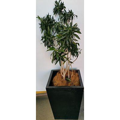 Janet Craig Malay Stripe(Dracaena Reflexa) Indoor Plant With Fibreglass Planter Box