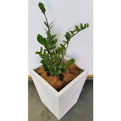 Zanzibar Gem(Zamioculus Zalmiofolia)Indoor Plant With Fibreglass Planter Box