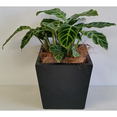 Zebra Plant(Calathea Zebrina) Desk/Benchtop Indoor Plant With Fiberglass Planter Box