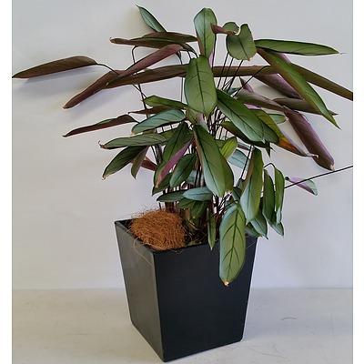Grey Star(Ctenanthe Setosa) Desk/Benchtop Indoor Plant With Fiberglass Planter Box