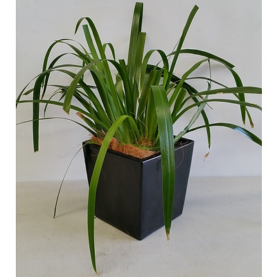 Brazilian Walking Iris(Neomarica Gracilis) Desk/Benchtop Indoor Plant With Fiberglass Planter Box