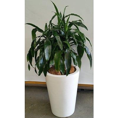 Janet Craig(Dracaena Deremensis) Indoor Plant With Fiberglass Planter Box