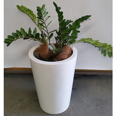 Zanzibar Gem(Zamioculus Zalmiofolia) Indoor Plant With Fiberglass Planter Box