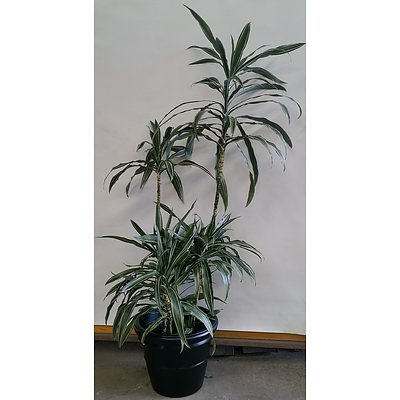 Janet Craig(Dracaena Deremensis) Indoor Plant With Decorative Plastic Cotta Pot