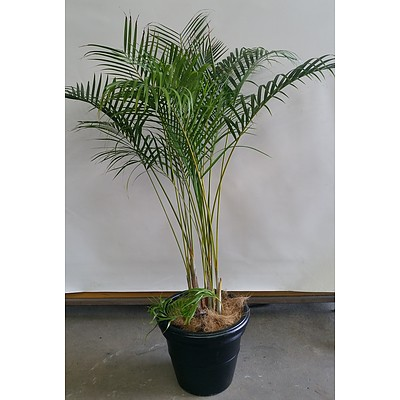 Golden Cane Palm(Dypsis Lutescens) Indoor Plant  in 45cm Plastic Cotta Pot