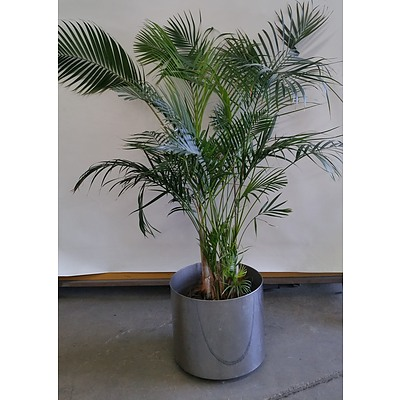Kentia Palm(Howea Forsteriana) Indoor Plant  Stainless Steel Planter