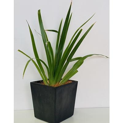 Brazilian Walking Iris(Neomarica Gracilis) Desk/Benchtop Indoor Plant With Fiberglass Planter
