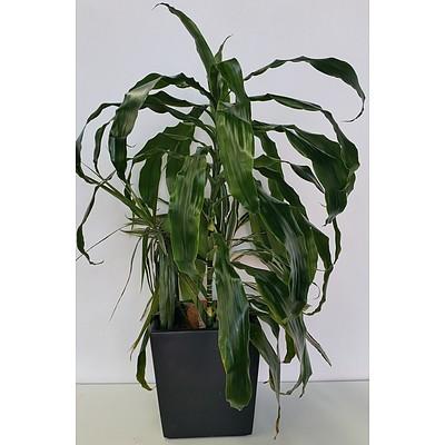 Janet Craig(Dracaena Deremensis) Desk/Bench Top Indoor Plants With Fiberglass Planter