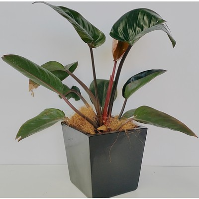 Philodendron Rojo Congo Desk/Benchtop Indoor Plant With Fiberglass Planter