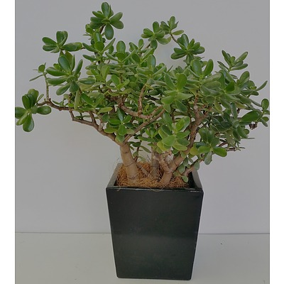 Jade Plant(Crassula Ovata) Desk/Benchtop Indoor Plant With Fiberglass Planter