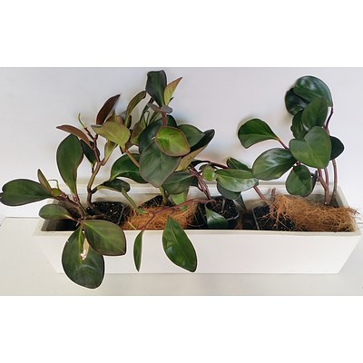Peperomia Red Edge(Peperomia Obtusifolia) Desk/Benchtop Indoor Plants With Fiberglass Planter Trough