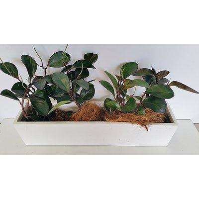 Peperomia Red Edge(Peperomia Obtusifolia) Desk/Benchtop Indoor Plants With Fiberglass Planter Trough